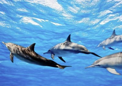 ayada-maldives-holiday-resort-dolphins