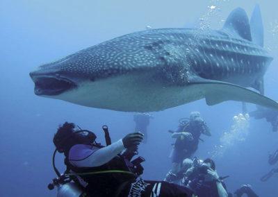 maldives-scuba-diving-whale-shark