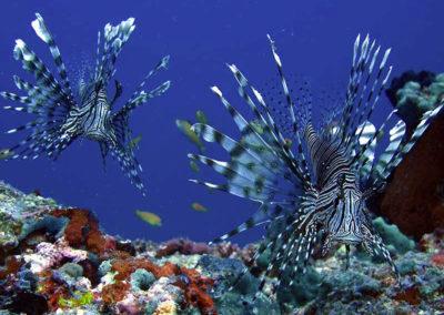 maldives-scuba-lion-fish