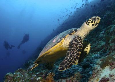maldives-turtle